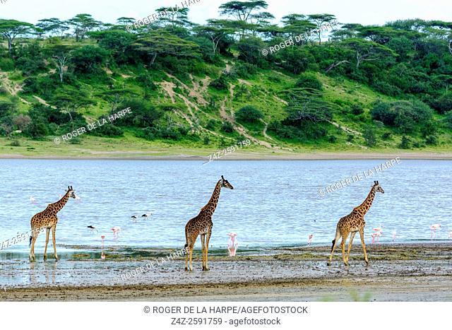 Masai giraffe, aka Maasai giraffe, or Kilimanjaro giraffe (Giraffa camelopardalis tippelskirchi) walking in Lake Ndutu. Ngorongoro Conservation Area (NCA)