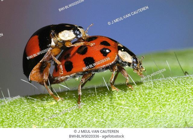 multicoloured Asian beetle Harmonia axyridis, mating