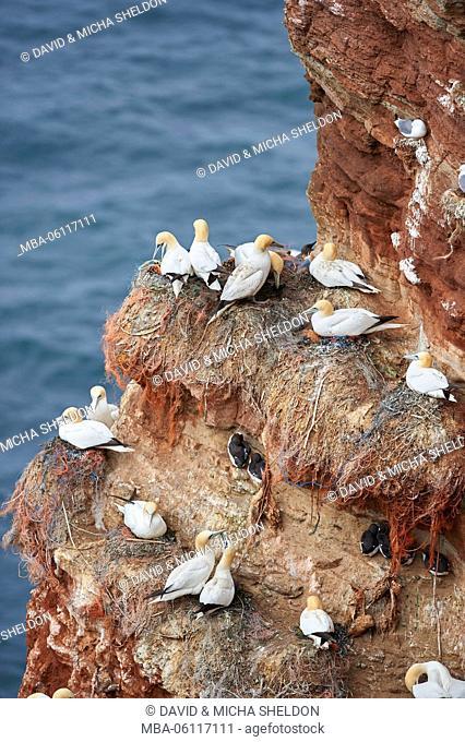 Gannets, Morus bassanus, colony, rock, sit, Heligoland