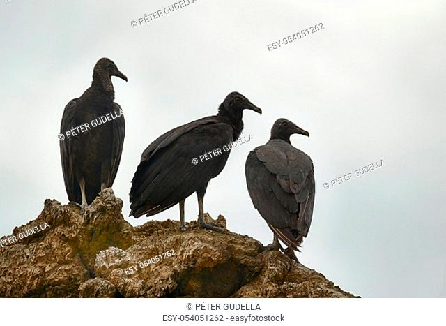 Black vultures standing on a cliff under overcast sky