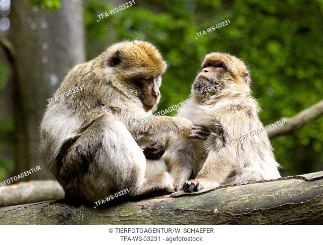 barbary apes delouse each other