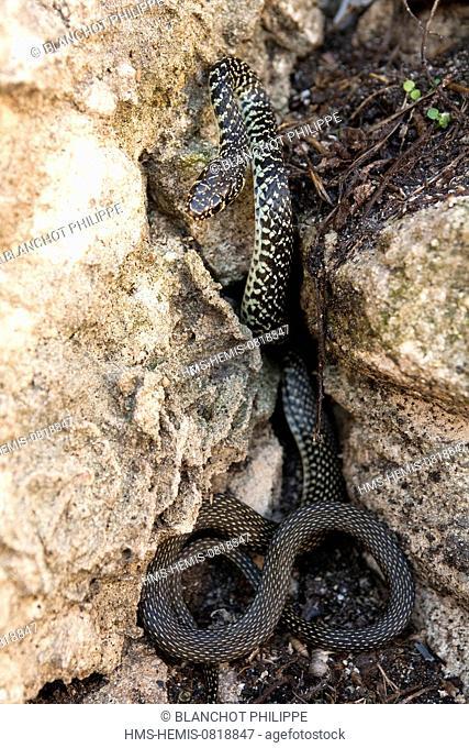 France, Corse du Sud, Bonifacio, Reptilia, Squamata, Colubridae, Couleuvre verte et jaune ou Serpent fouet (Hierophis viridiflavus)