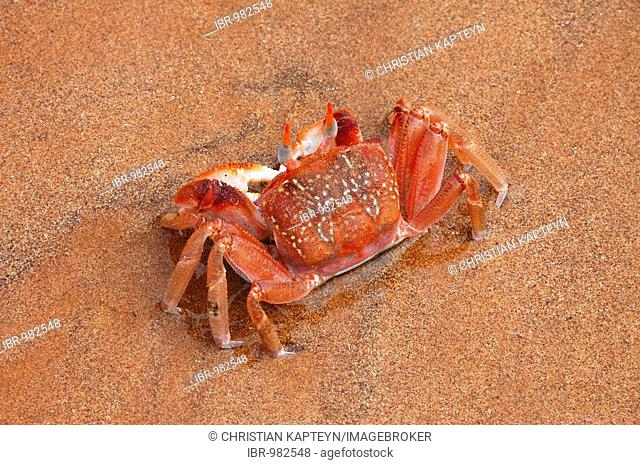 Ghost Crab (Ocypode gaudichaudii), Galapagos Islands, Ecuador, South America