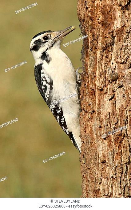 Female Hairy Woodpecker (Picoides villosus) on a tree with a green background