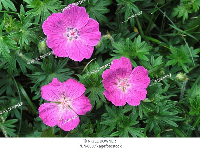 Close-up of the flowers of bloody cranesbill Geranium sanguineum growing in a limestone habitat near the coast