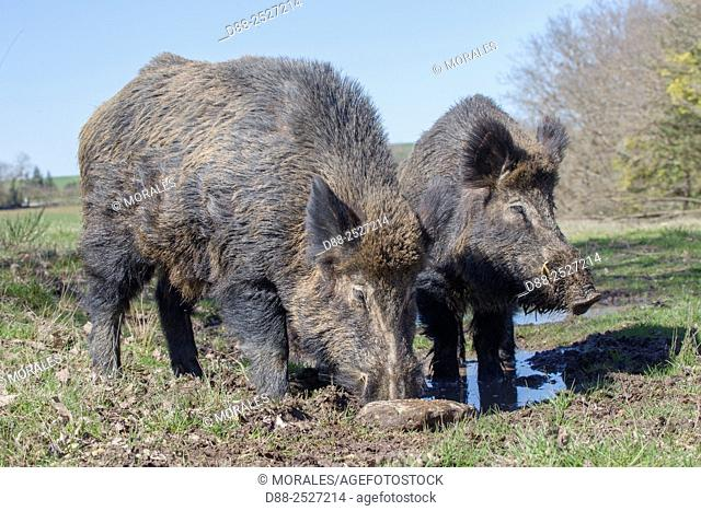 France, Haute Saone, Private park, Wild Boar Sus scrofa, male