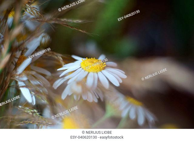 Wild chamomile bloom. Selective soft focus and blur natural background with beautiful pastel colors, free space