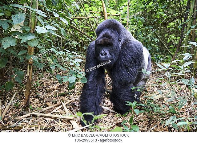Silverback Mountain gorilla (Gorilla beringei beringei) member of Munyaga group. Virunga National Park, North Kivu, Democratic Republic of Congo, Africa