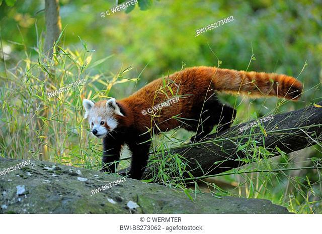 lesser panda, red panda Ailurus fulgens, walking along a tree trunk