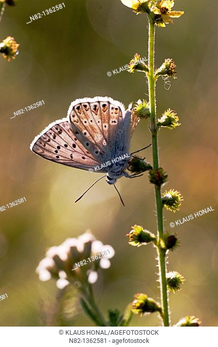 Chalk Hill Blue Butterfly (Lysandra coridon) male on Common agrimony, European groovebur (Agrimonia eupatoria) - Bavaria/Germany