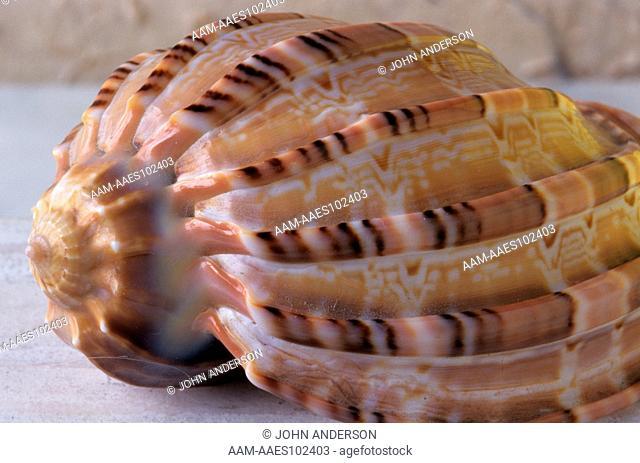 Striated Cone Shell (Conus striatus) Fiji