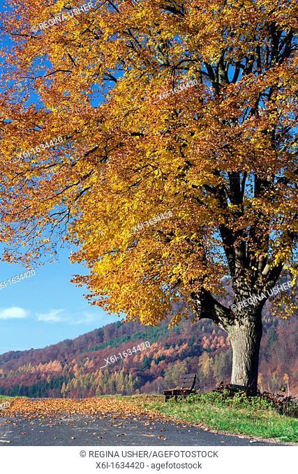 Common Lime Tree Tilia europaea, in Autumn Colour, Hessen, Germany