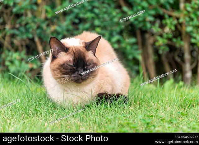 wunderschöne Ragdoll Katze geniesst es sitzend in der Wiese