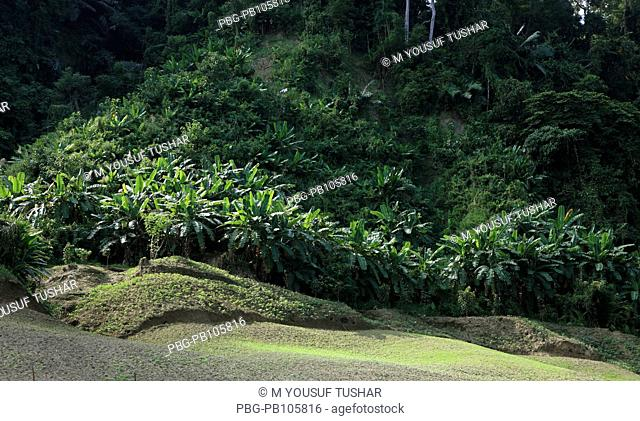 Zoom cultivation at the bank of Sangu river at Thanchi Bandarban, Bangladesh December 2009
