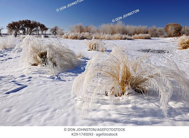 Alkali Sacaton Sporobolus airoides Native grass with winter frost , Bosque del Apache NWR, New Mexico, USA