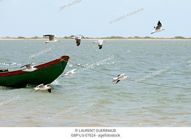 Bird, Seagull-head-ash, Lençois, Atins, Maranhão, Brazil