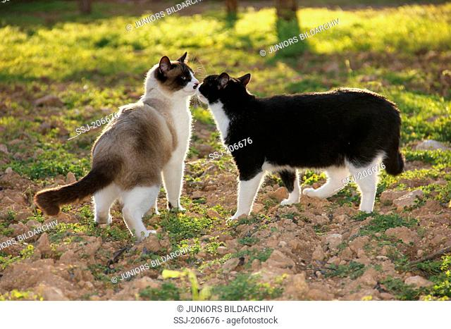 Domestic cat. Two adults sniffing at each other in a field. Spain