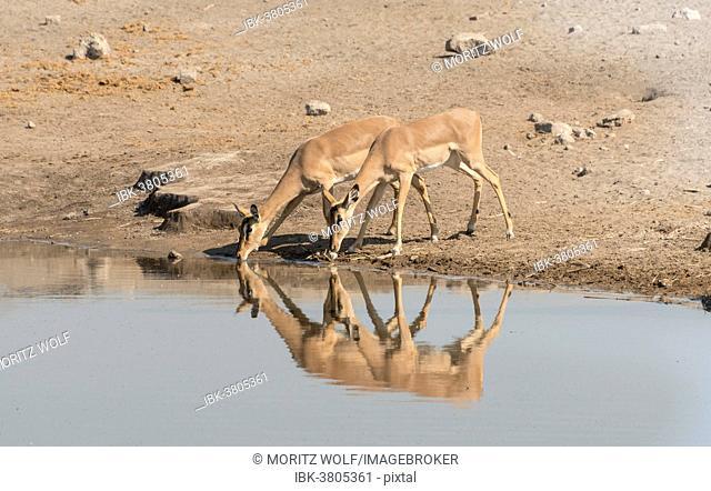 Group of Black Nose Impalas (Aepyceros melampus petersi) drinking at water, Chudop waterhole, Etosha National Park, Namibia