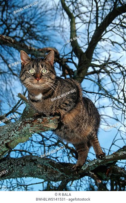 domestic cat, house cat Felis silvestris f. catus, cat on tree, Germany