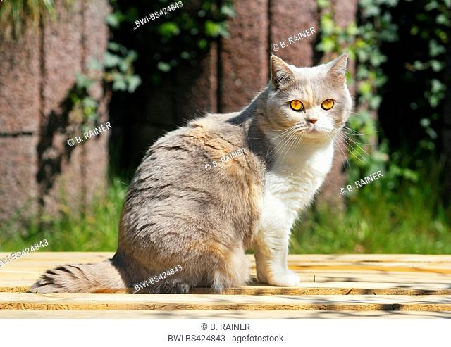 British Shorthair (Felis silvestris f. catus), four years old British Shorthair cat in lilac tortie white sitting in the garden