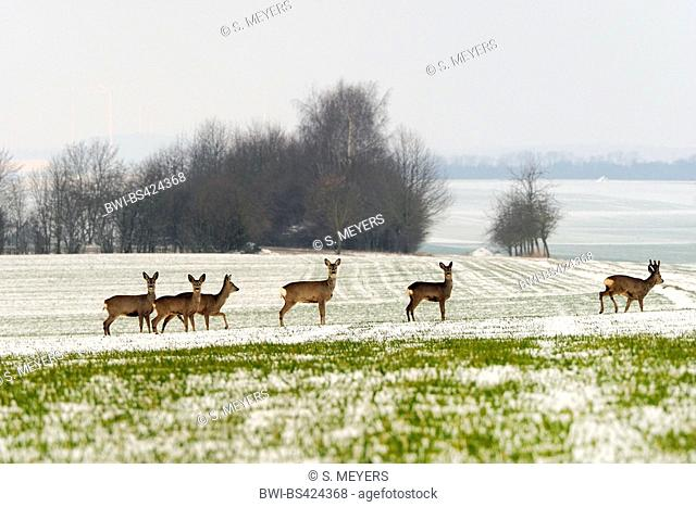 roe deer (Capreolus capreolus), group in snowy landscape, Germany, Baden-Wuerttemberg