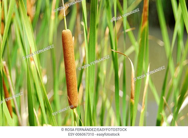 Bulrush, Typha latifolia, in a small pond, Molina de Aragon, province of Guadalajara, Castilla La Mancha, Spain