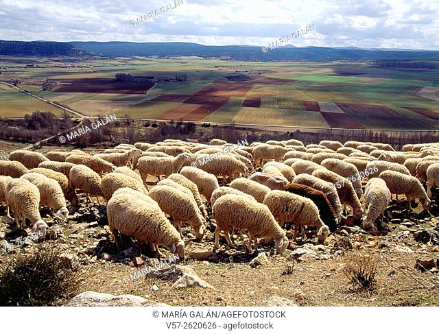 Flock of sheep. Gormaz, Soria province, Castilla Leon, Spain