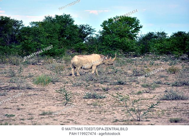 Black Rhinoceros in the Etosha National Park, taken on 05.03.2019. The Black Rhinoceros (Diceros bicornis) is an open savannah and the second largest rhinoceros...