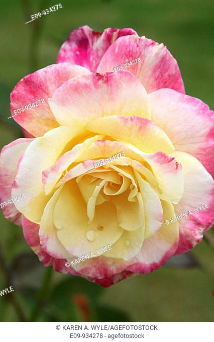 pink and yellow rose with water drops on several petals