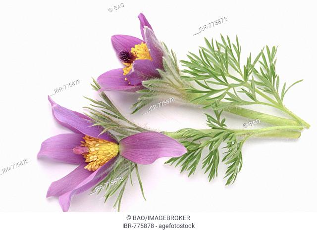 Pasque Flower (Pulsatilla vulgaris, Pulsatilla comune) aka Dane's Blood, medicinal plant