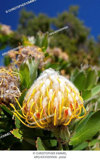 Close-up Of A Waratah Flower In Margaret River\, Western Australia