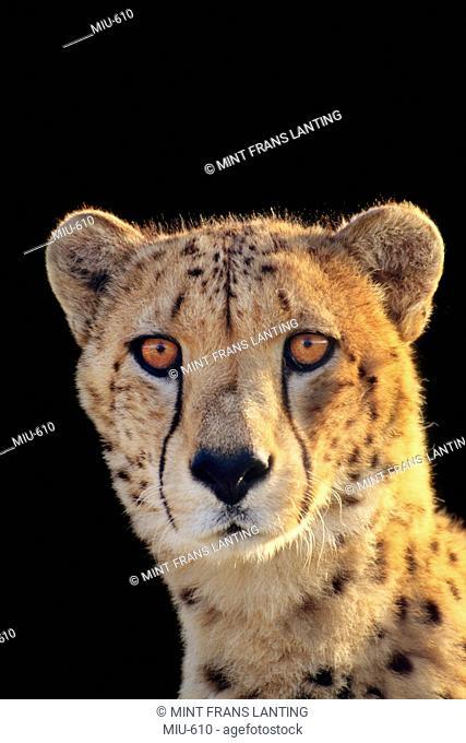 Cheetah, Acinonyx jubatus, Native to Kenya