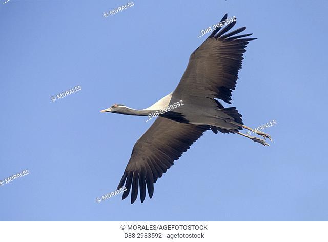 India, Rajasthan, Thar desert, Kichan, village of the Marwari Jain communuty, have been feeding every winter since 1970 the Demoiselle cranes (Grus virgo) who...