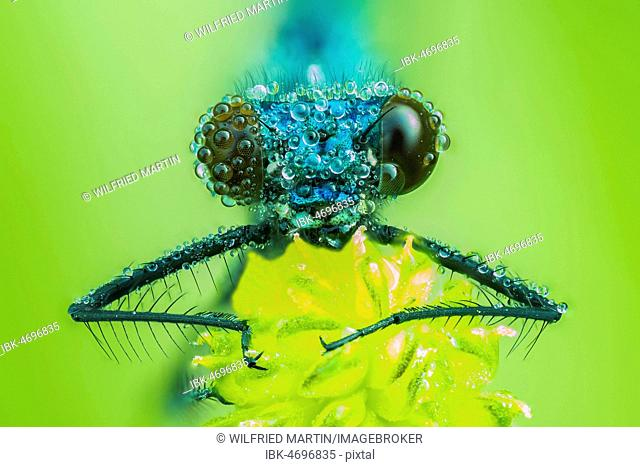 Banded demoiselle (Calopteryx splendens), male, animal portrait, frontal view, Hesse, Germany