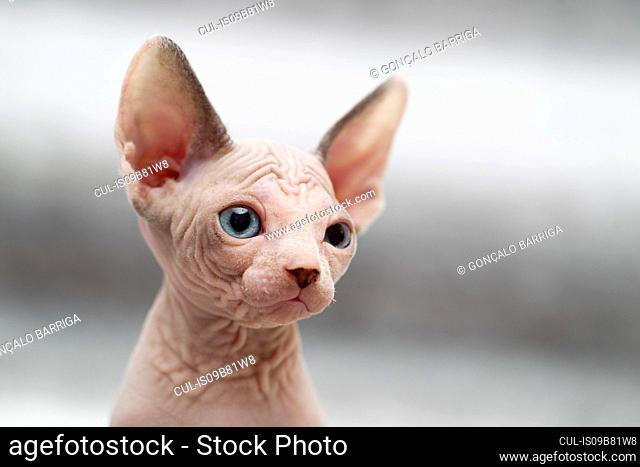 Animal portrait of sphynx cat looking away