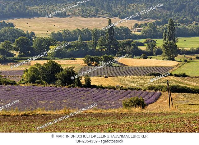 Lavender fields near Sault, Apt, Provence region, Département Vaucluse, France, Europe