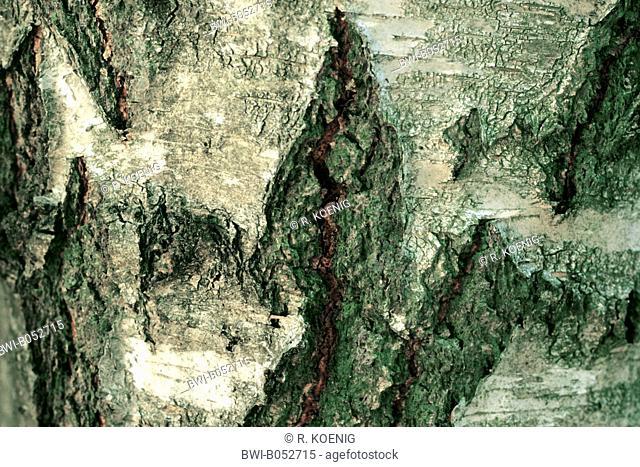 gray birch (Betula populifolia), bark