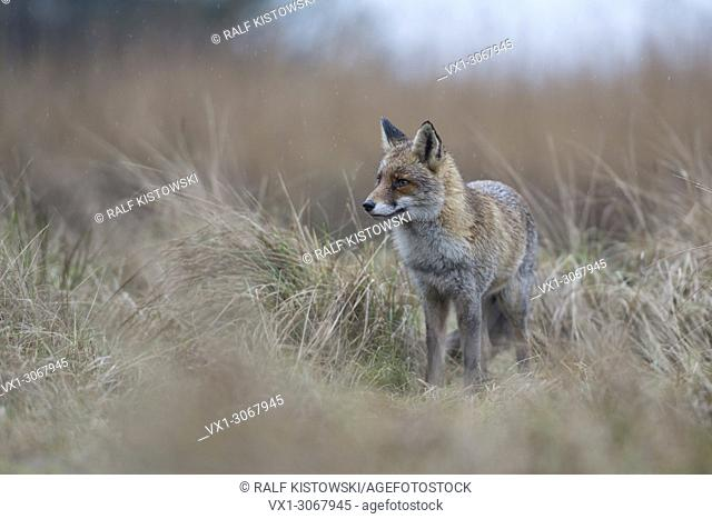 Red Fox (Vulpes vulpes) adult animal, stand in high grass, waiting, watching carefully, bad weather, on a rainy day, wildlife, Germany, Europe