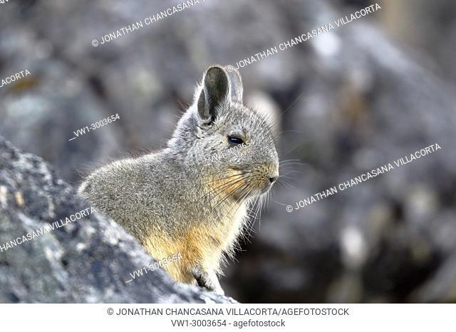 Southern Viscacha (Lagidium viscacia) taken in freedom near the snowy Huaytapallana. Huancayo, Perú