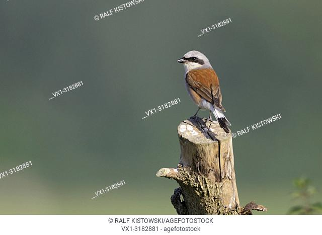 Red backed Shrike ( Lanius collurio ), male adult in breeding dress, sitting on top of a tree stub in front of wide open land