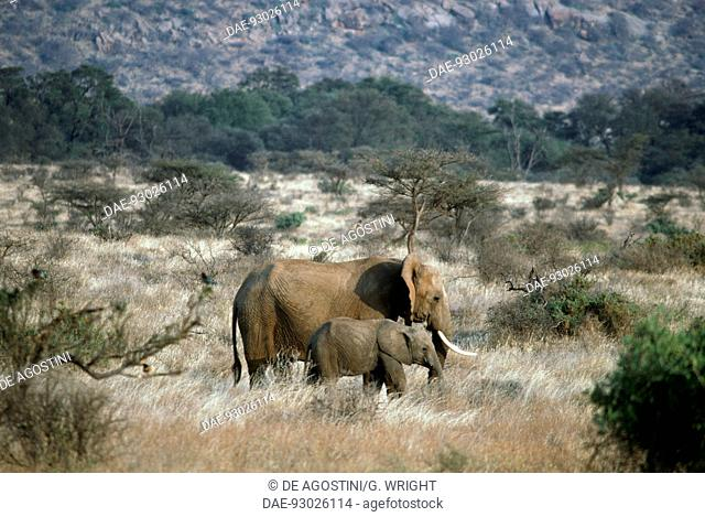 African bush elephant (Loxodonta africana), Elephantidae, Samburu National Reserve, Kenya