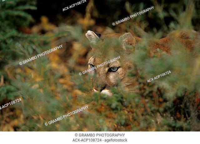 Close-up of cougar , Puma concolor, prowling through forest, Montana, USA