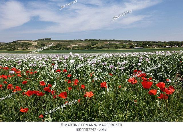 Field of Opium Poppies (Papaver somniferum) with Corn Poppies in the front, Haugsdorf, Weinviertel, Lower Austria, Austria, Europe