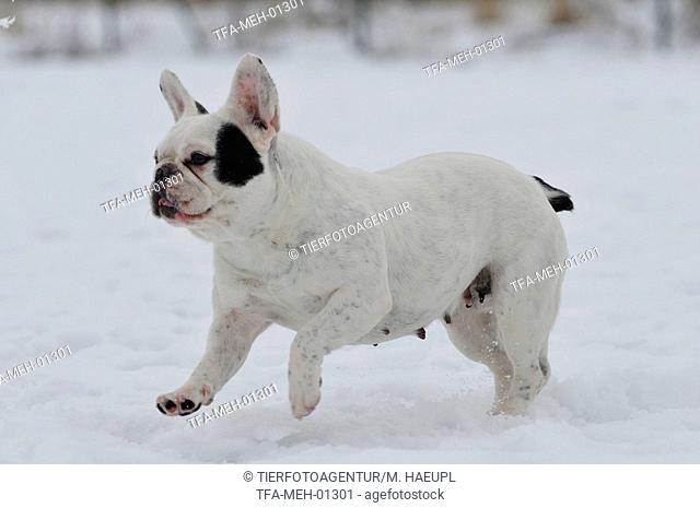 running French Bulldog