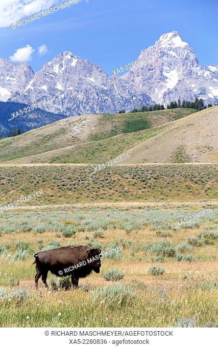 American Bison (Bison bison), Grand Teton National Park, Wyoming, USA
