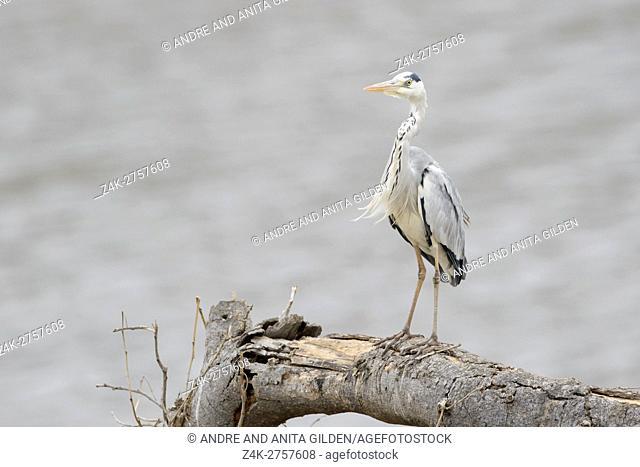 Grey Heron (Grey Heron) (Ardea cinerea), Kruger National Park, South Africa, Africa