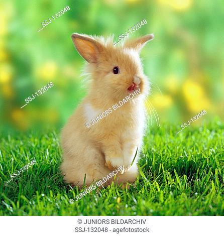 lion-headed dwarf rabbit on meadow restrictions:Tierratgeber-Bücher / animal guidebooks, puzzles worldwide, mobile phone content worldwide
