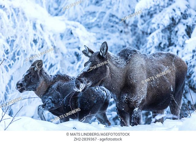 Moose, Alces alces, with calf in winter time time, with snowy trees around, Tjåmotis, Jokkmokk, Swedish Lapland, Sweden