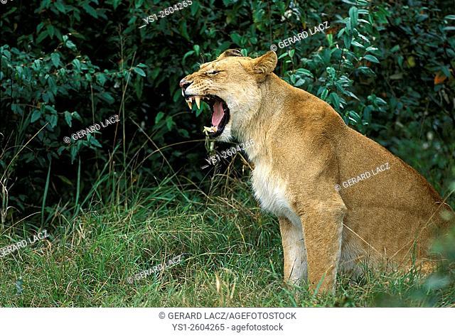 African Lion, panthera leo, Female Yawning, Kenya