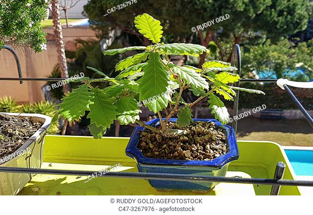 Quercus Suber Bonsai Cork Oak The Cork Oak Is An Evergreen Mediterranean Tree Stock Photo Picture And Rights Managed Image Pic C47 3267976 Agefotostock